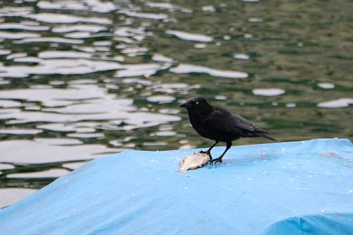Raven, River, Animal World, Boat Cover, Fish, Meal