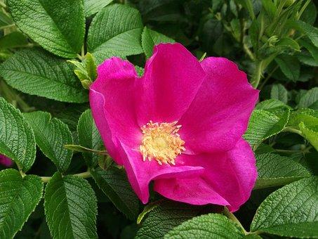 Wild Rose, Itching Powder, Potato Roses, Pink