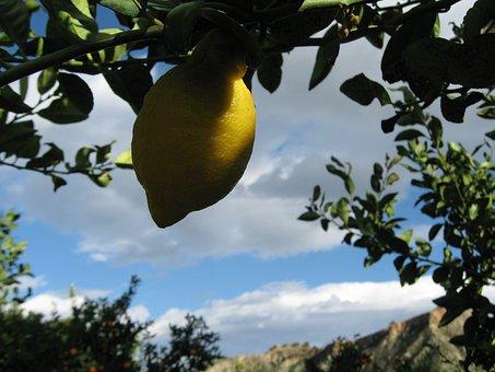 Lemon, Lemons, Citrus, Fruit, Yellow, Tree, Nature