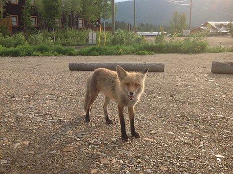 Fox, Yukon, Summer, Keno