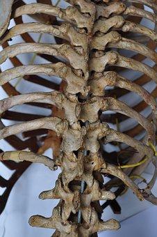 Bones, Skeleton, Back, Spine, Human, Body, Anatomy