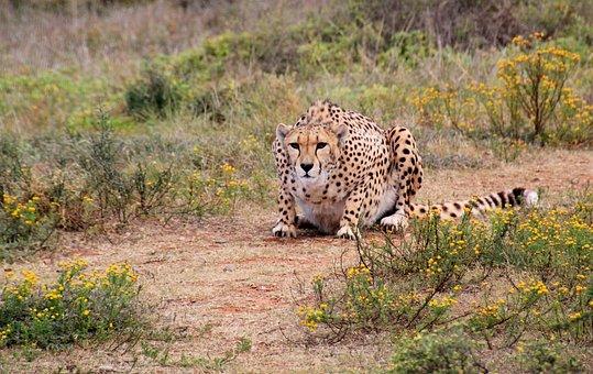 Cheetah, Predator, Wild Animal, Animal World, Animal