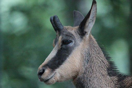Animals, Chamois, Rupicapra Rupicapra, Gams, Wild