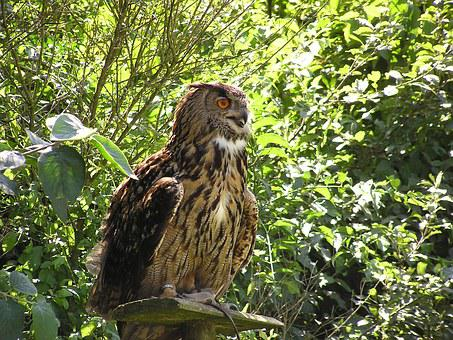 Eagle Owl, Bubu, Wildlife Park, Poing, Bird
