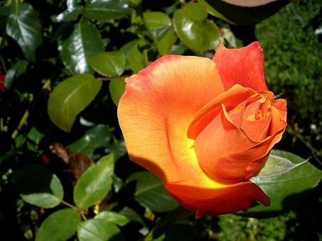 Rose, Flower, Garden, Orange, Blossom, Bloom, Colorful