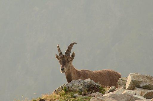 Chamois, Brevent, Mountain
