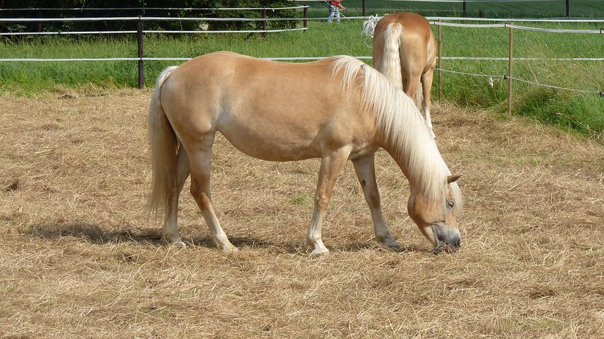 Animal, Horse, Haflinger, Coupling, Brown