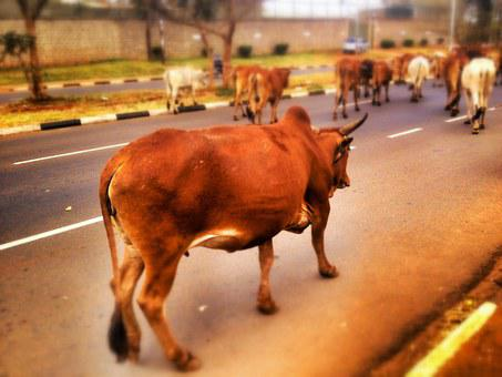 Cow, Cattle, Livestock, Road, Street, Brown, India