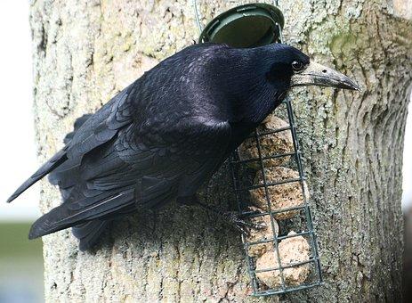Crow, Rook, Corbie, Corby, Corvus Frugilegus, Beak