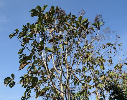 Teak Tree, Tectona Grandis, Deciduous, Broad-leaved