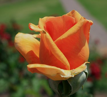 Flower, Bloom, Bud, Rose, Tea, Orange, Petals, Soft