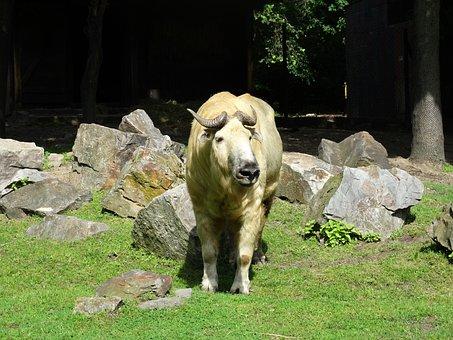 Takin, Cattle Chamois, Gnu Goat, Goat-antelope, Animal