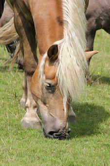 Haflinger, Graze, Horse Head, Meadow, Grass