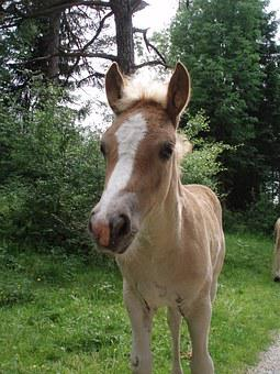 Animal, Horse, Foal, Haflinger