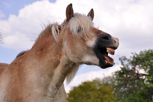 Yawn, Horse, Laugh, Animal, Haflinger, Pony, Tooth