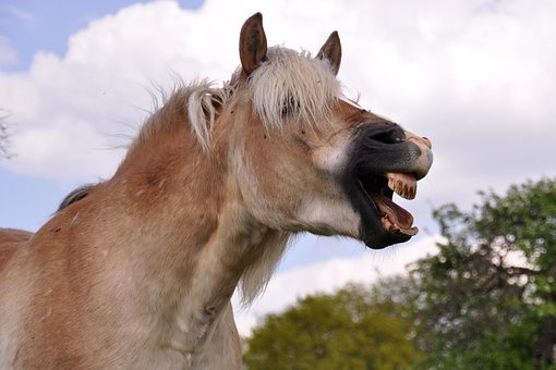 Yawn, Horse, Laugh, Animal, Haflinger, Pony, Tooth