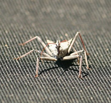 Insect, Wheel Bug, Assasin Insect, Legs, Aggressive