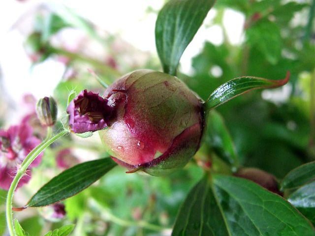 Peony, Geranium, Plants, Garden, Plant, Nature, Flower