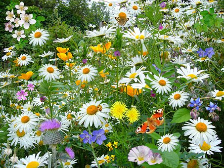 Wild Flowers, Wild Plants, Nature, Oz-eye Daisy