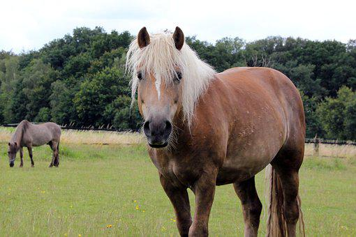 Haflinger, Pasture, Attention, Gelding