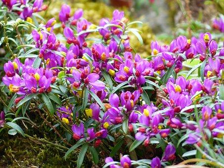 Polygala Chamaebuxus, Blossom, Bloom, Purple, Violet