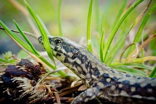 Wall Lizard, Lacertinae, Podarcis, Reptile, Lizard