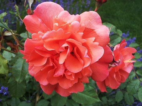 Rose, Tea Rose, Apricot, Salmon, Colorful, Flower