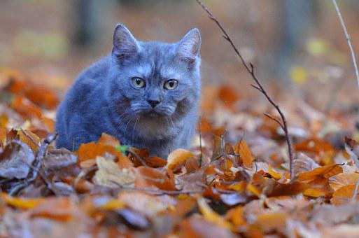 Cat, Young Cat, Selkirk Straight, Blue, Forest, Kitten