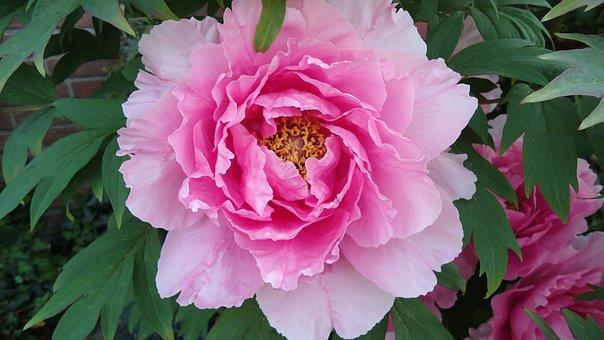 Pelagonie, Pink, Violet, Purple, Large, Asia, Flowers
