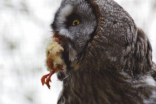 Bart Owl, Owl, Wildpark Poing, Prey, Chicks, Eat, Bird