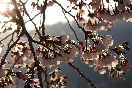 Cherry Blossoms, Tree, Fukushima, 11878 Hanamiyama Park