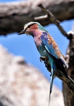Lilac Breasted Roller, Bird, South Africa, Kruger Park