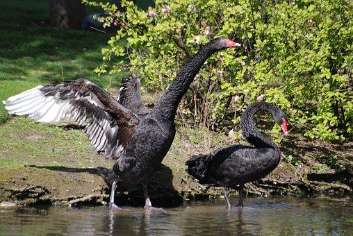 Black Swan, Cygnus Atratus, Waterbird, Water, Beak