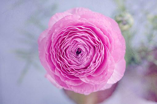 Ranunculus, Blossom, Bloom, Petals, Pink, Tender