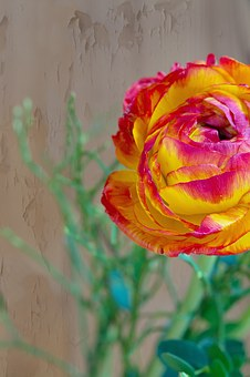 Flower, Ranunculus, Red, Orange, Yellow, Blossom, Bloom