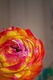 Ranunculus, Flower, Blossom, Bloom, Red, Orange, Yellow