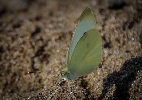 Brimstone Butterfly, Butterfly, Insect, Bug, Animal