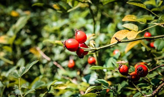 Rosehips, Rosa Canina, Fruit, Forest, Berry, Bush, Crop