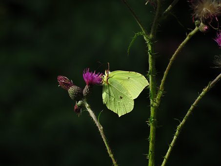 Brimstone Butterfly, Butterfly, Yellow, Insect, Flower
