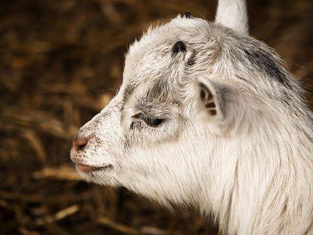 Goat, Animal, Farm, Lambs, Creature, Enclosure