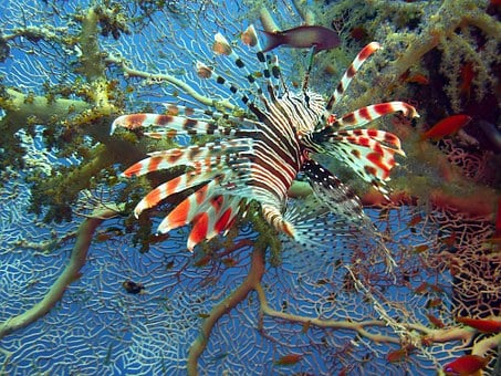 Lionfish, Lion Fish, Red Fire Fish, Diving, Underwater