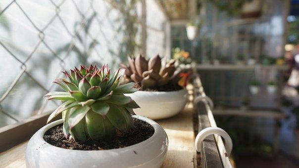 Fllower, Cactus, Cereus