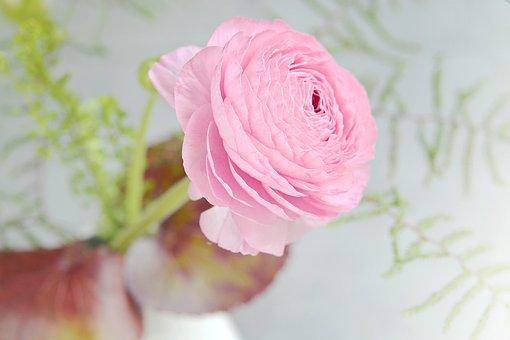 Ranunculus, Flower, Pink, Pink Flower, Petals