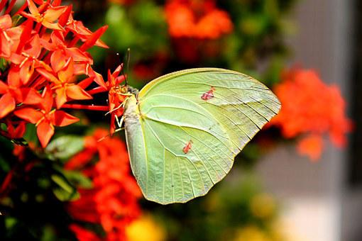 Brimstone, Butterfly, Yellow Butterfly, Wings, Freedom