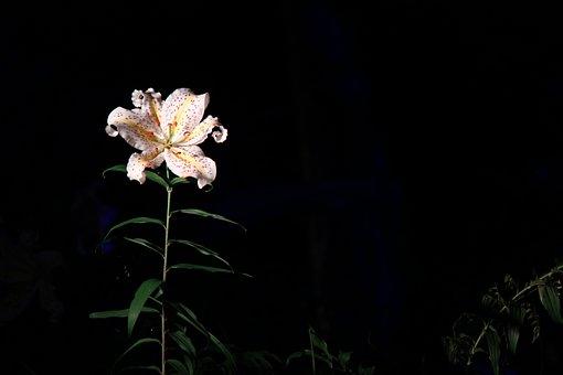 Lily, Fukushima, Azuma Sports Park, Yamayuri, Light Up