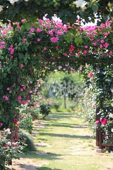 Rose Garden, Rose, Sato Liyuan, Fukushima