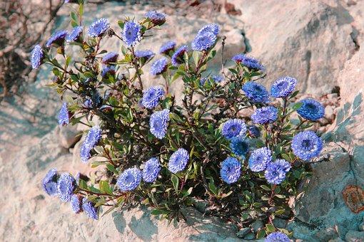 Globular, Alypum, Flowers Garrigue