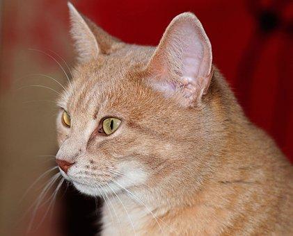 Cat, Portrait, Head, Pet, Close, Graceful, Fur, Animal