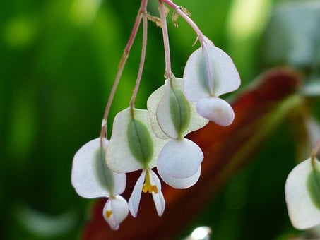 Blossom, Bloom, Begonia, White, Bell, Seeds, Hanging