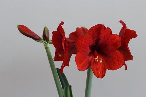 Flower, Hippeastrum, Red, Open, In Full Bloom, Beauty
